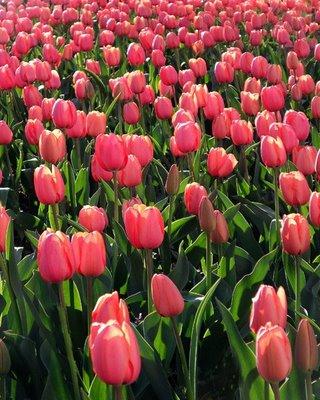 TulipsRickLee