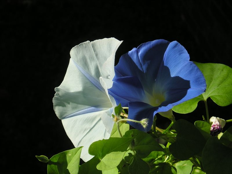 Morningglory bluewhite1