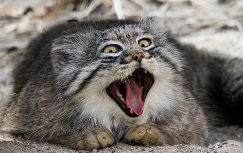 Yawning pallas mrazek76flickr